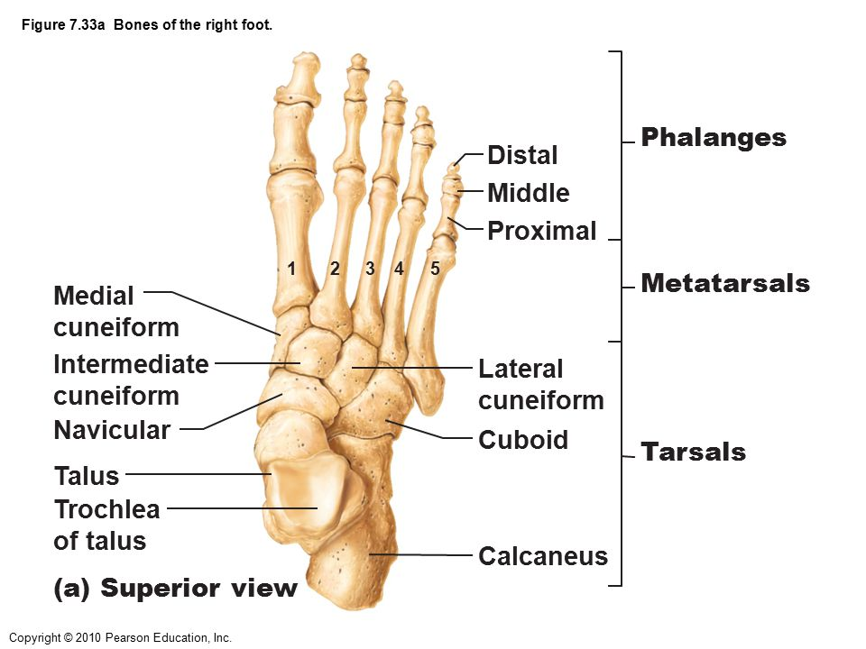 Figure 7.33a Bones of the right foot.