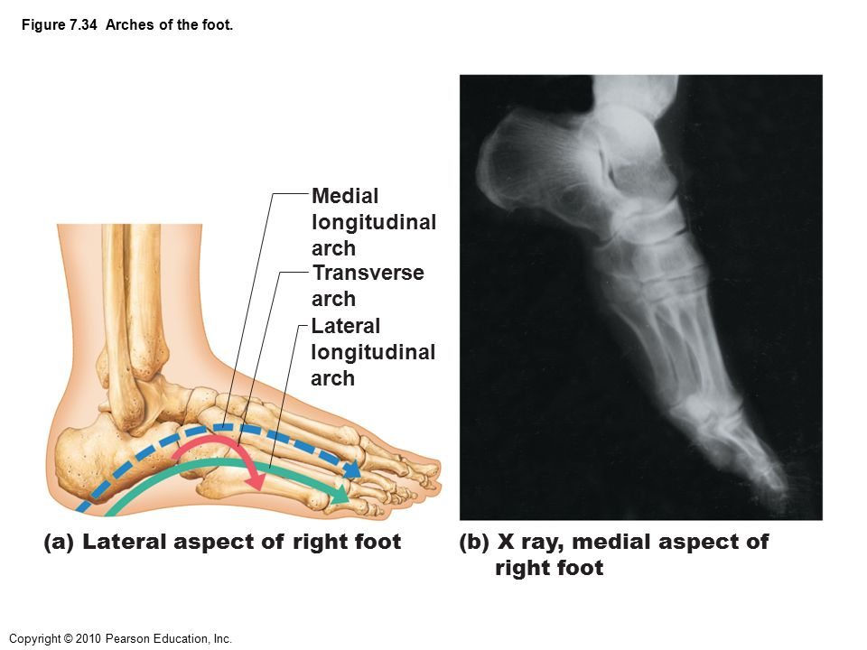 Figure 7.34 Arches of the foot.