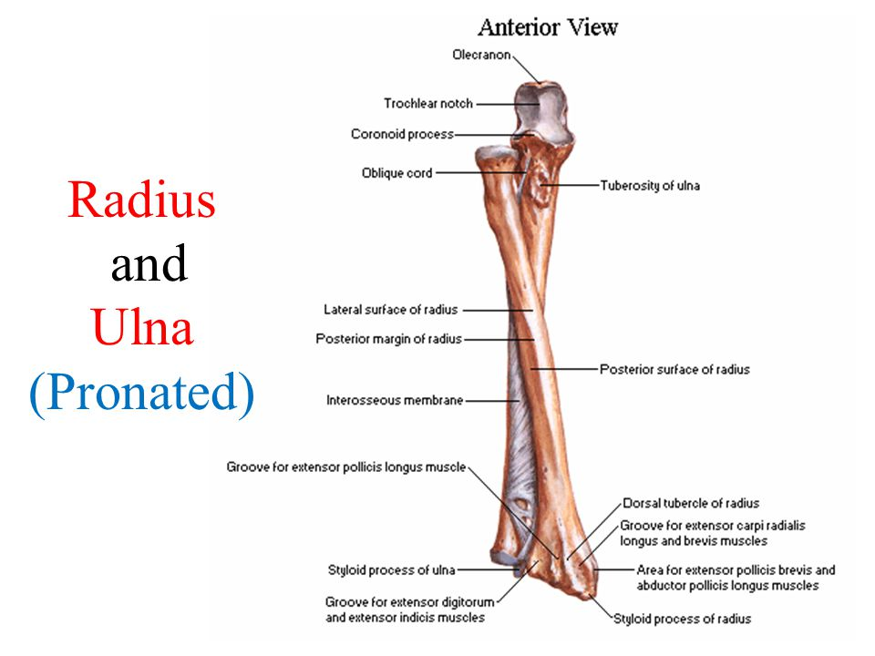 Radius and Ulna (Pronated)