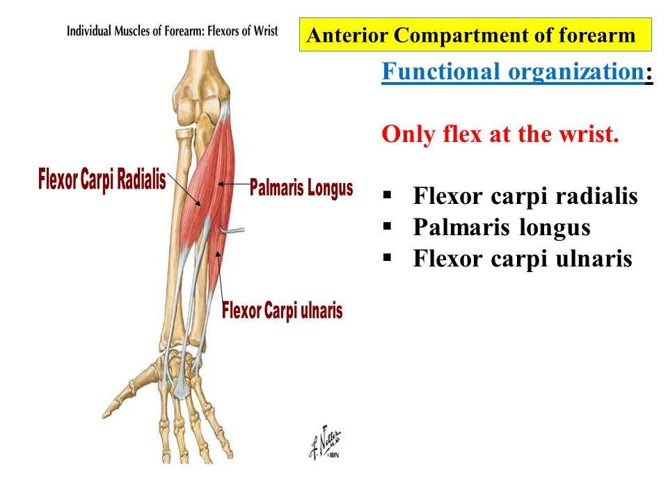 Functional organization: Only flex at the wrist. Flexor carpi radialis