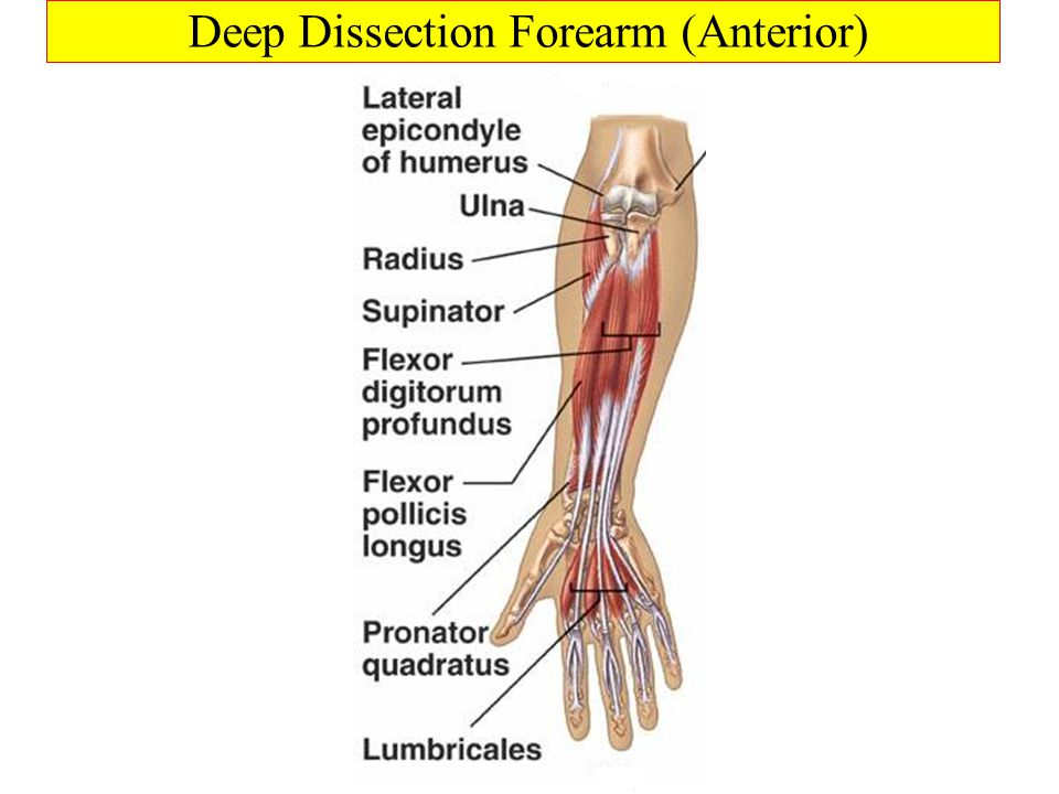 Deep Dissection Forearm (Anterior)