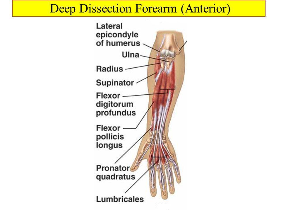 Deep Dissection Forearm (Anterior)