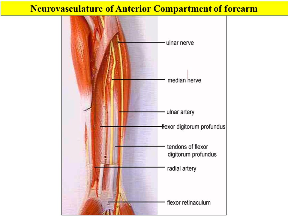 Neurovasculature of Anterior Compartment of forearm