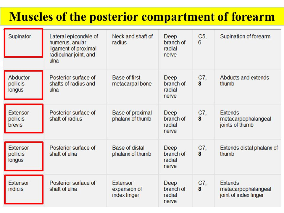 Muscles of the posterior compartment of forearm