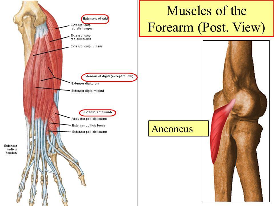 Muscles of the Forearm (Post. View)