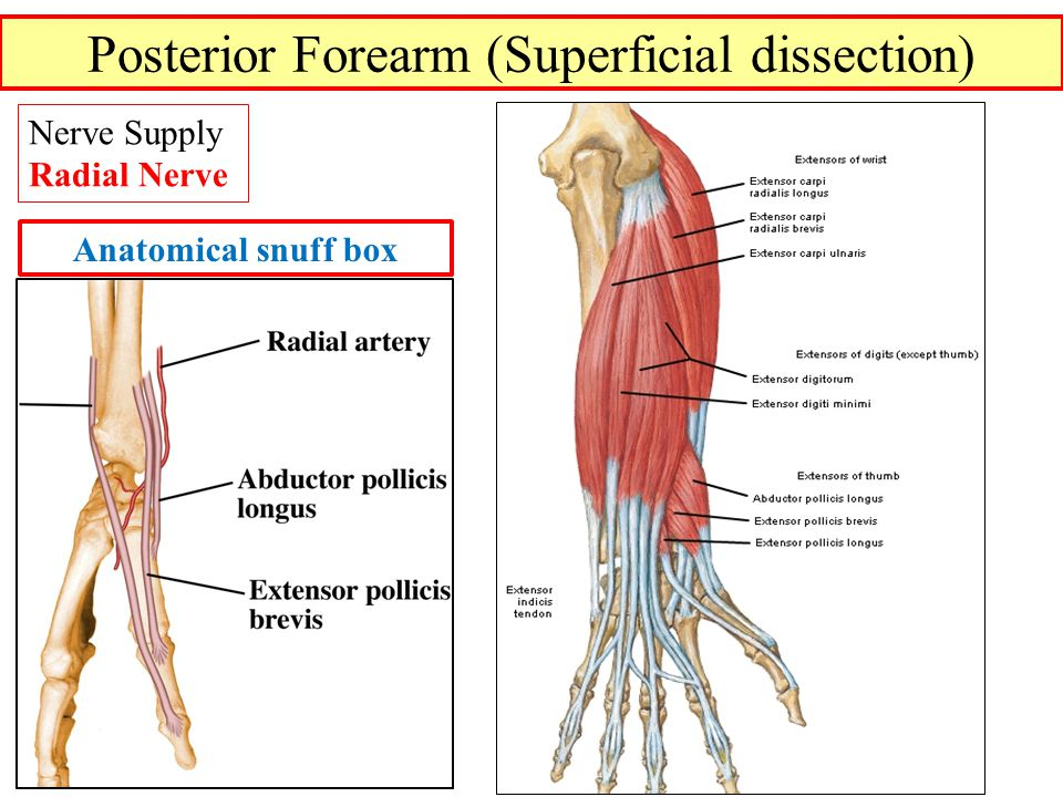 Posterior Forearm (Superficial dissection)
