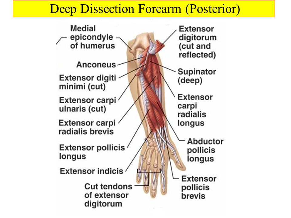 Deep Dissection Forearm (Posterior)