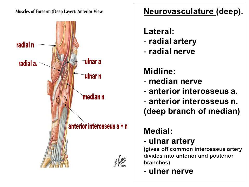 Neurovasculature (deep). Lateral: radial artery radial nerve Midline: