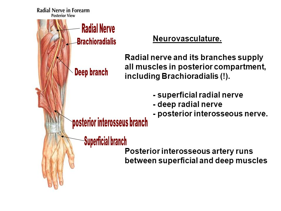 Radial nerve and its branches supply