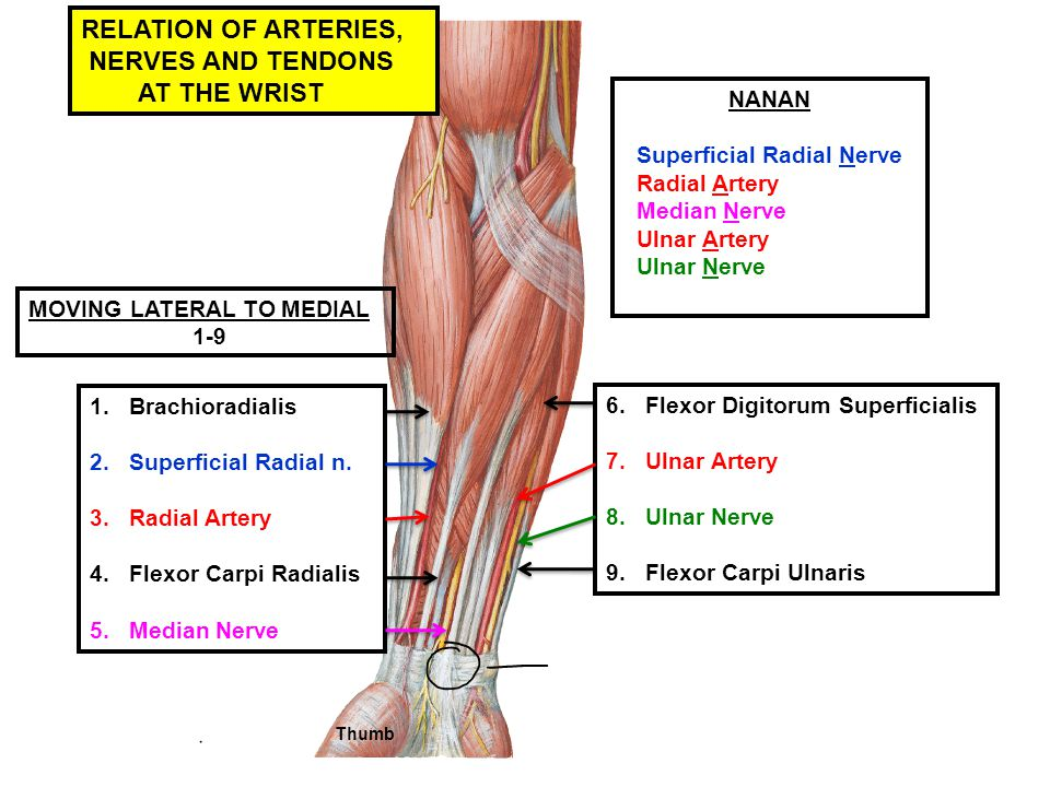 RELATION OF ARTERIES, NERVES AND TENDONS AT THE WRIST NANAN