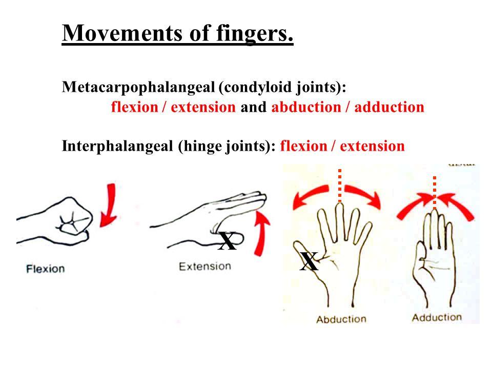 X X Movements of fingers. Metacarpophalangeal (condyloid joints):