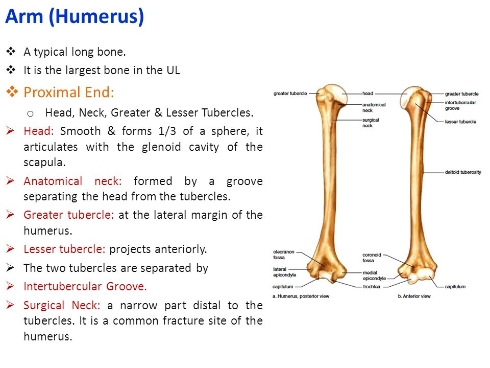 Arm (Humerus) Proximal End: A typical long bone.