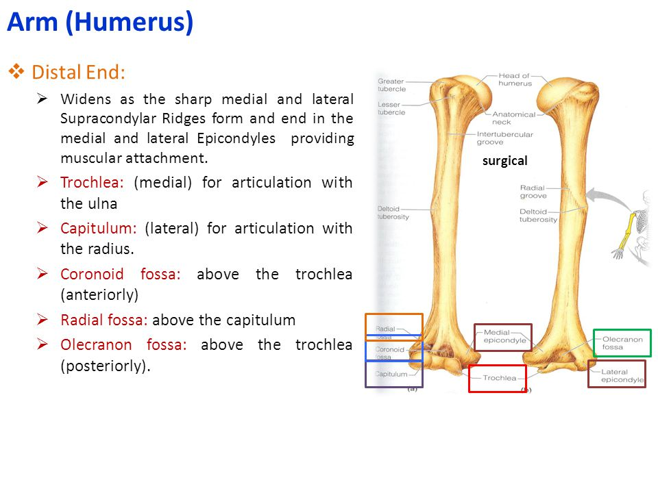 Arm (Humerus) Distal End: