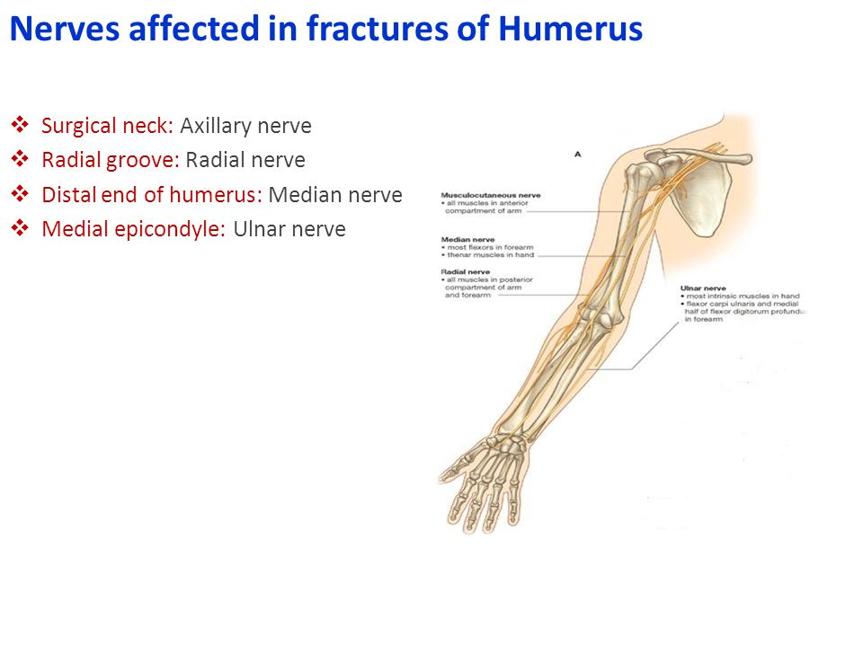 Nerves affected in fractures of Humerus