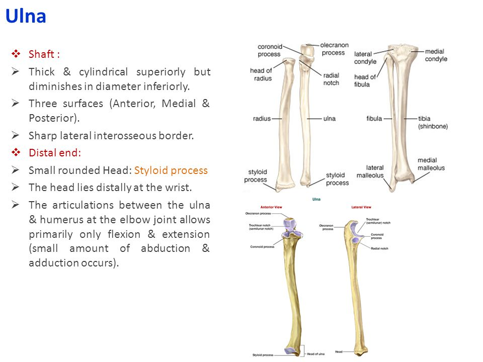 Ulna Shaft : Thick & cylindrical superiorly but diminishes in diameter inferiorly. Three surfaces (Anterior, Medial & Posterior).