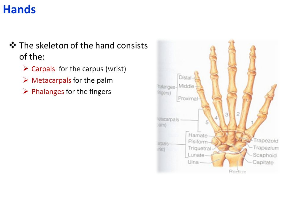 Hands The skeleton of the hand consists of the: