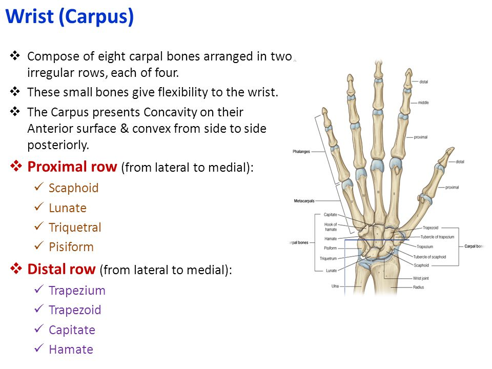 Wrist (Carpus) Proximal row (from lateral to medial):
