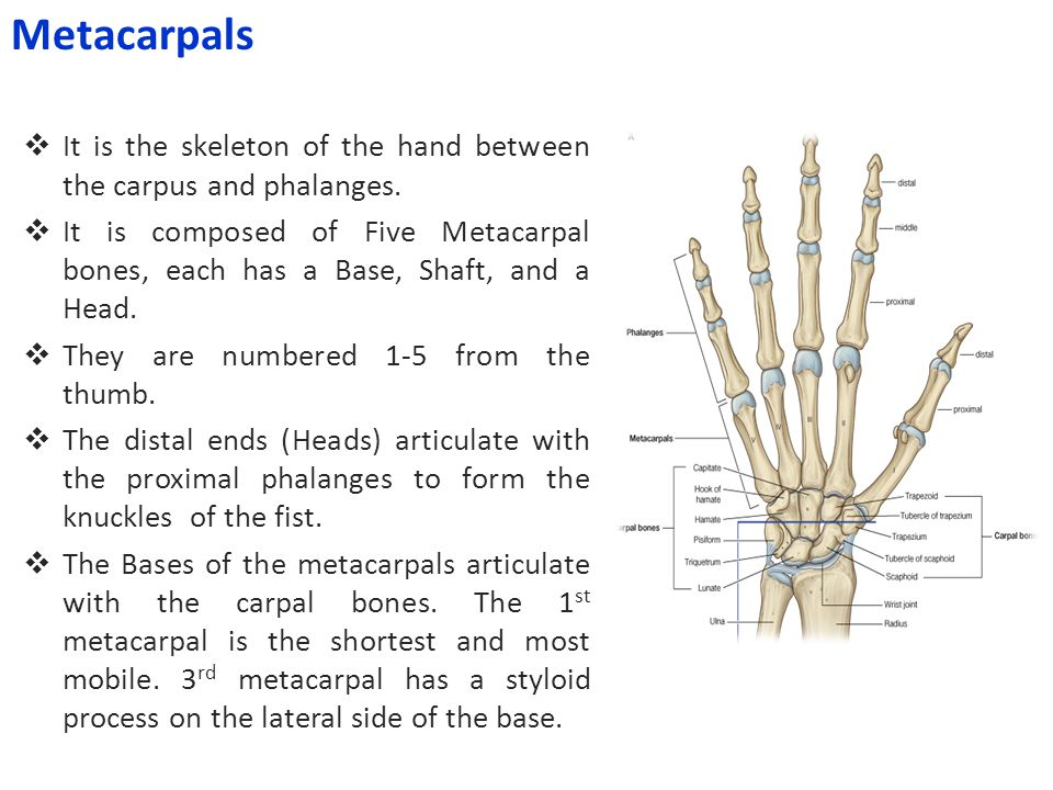 Metacarpals It is the skeleton of the hand between the carpus and phalanges.