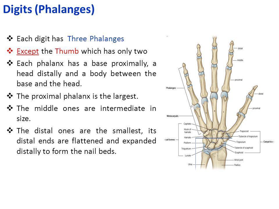 Digits (Phalanges) Each digit has Three Phalanges