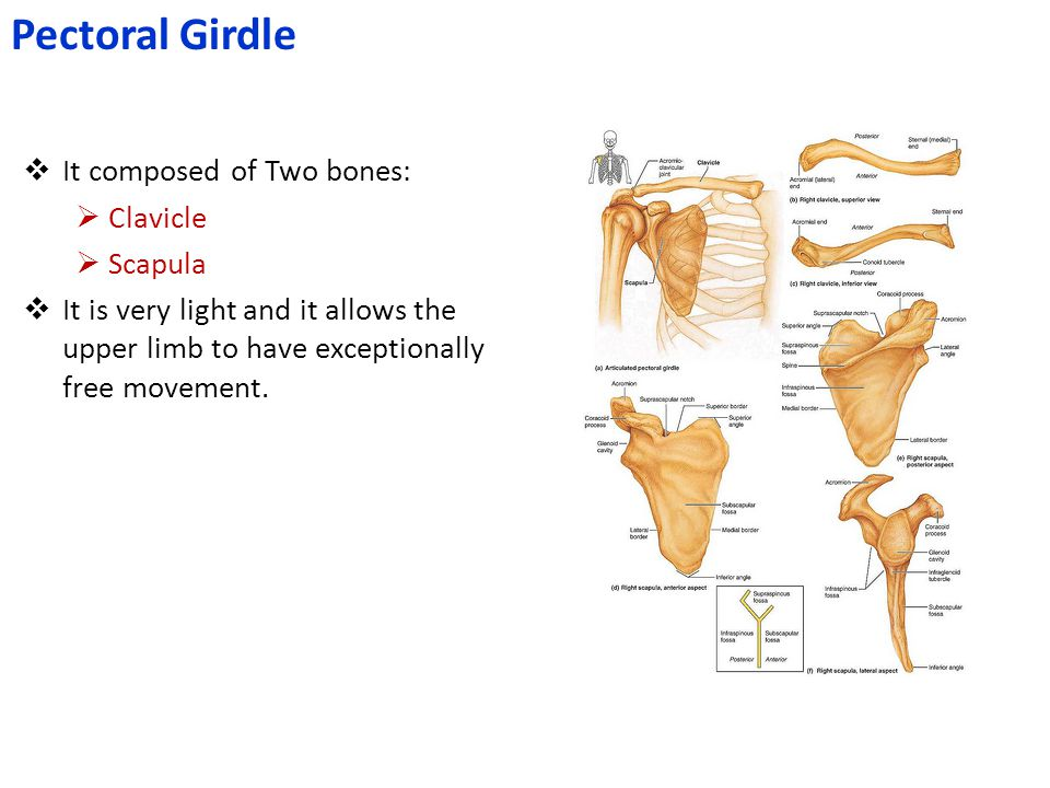 Pectoral Girdle It composed of Two bones: Clavicle Scapula