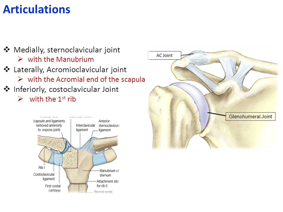 Articulations Medially, sternoclavicular joint