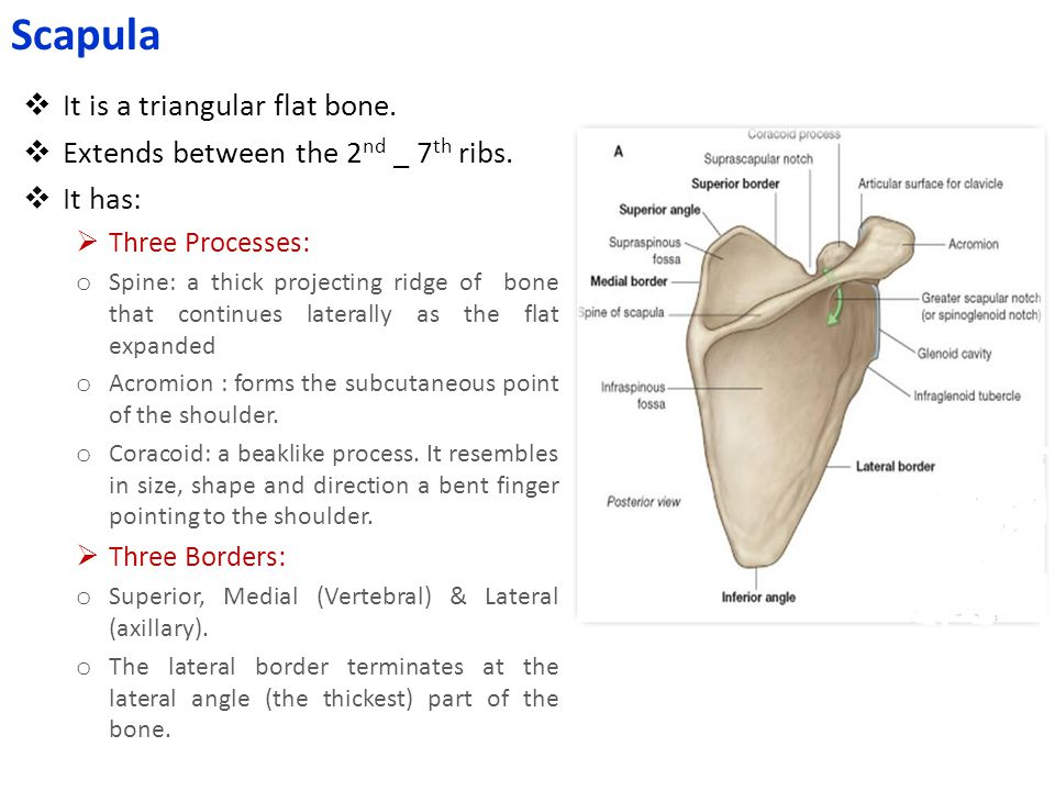 Scapula It is a triangular flat bone.