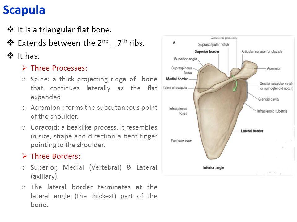 Scapula It is a triangular flat bone.