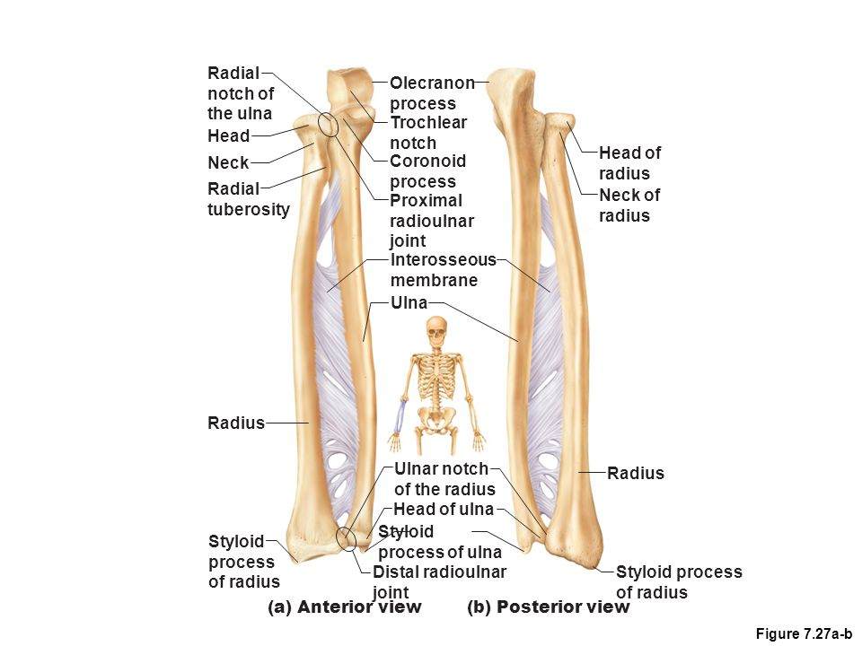 Radial notch of the ulna Olecranon process Trochlear notch Head