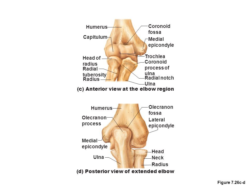 (c) Anterior view at the elbow region