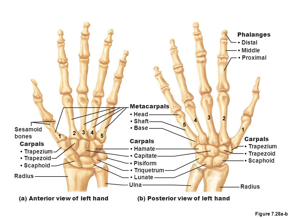 (a) Anterior view of left hand (b) Posterior view of left hand
