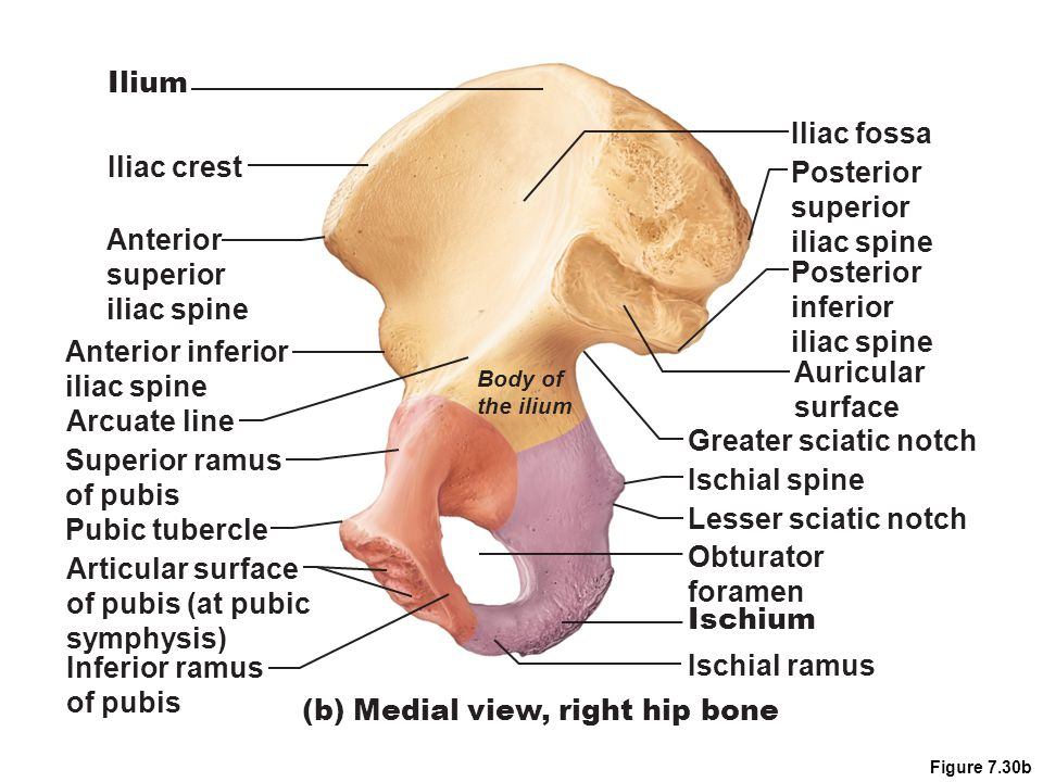 (b) Medial view, right hip bone