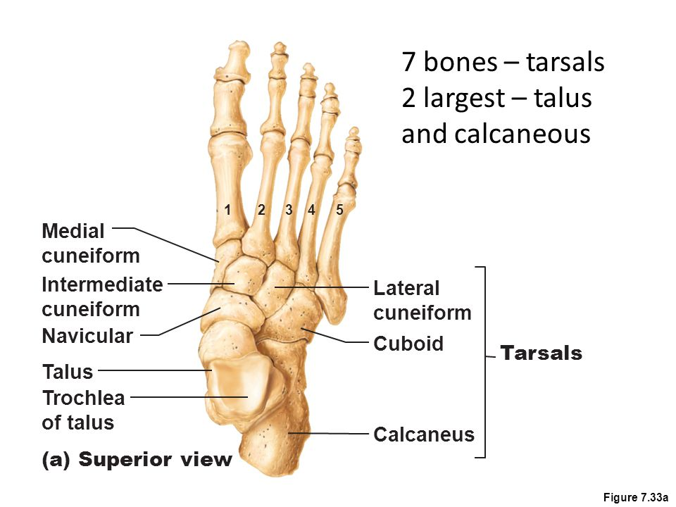 2 largest – talus and calcaneous