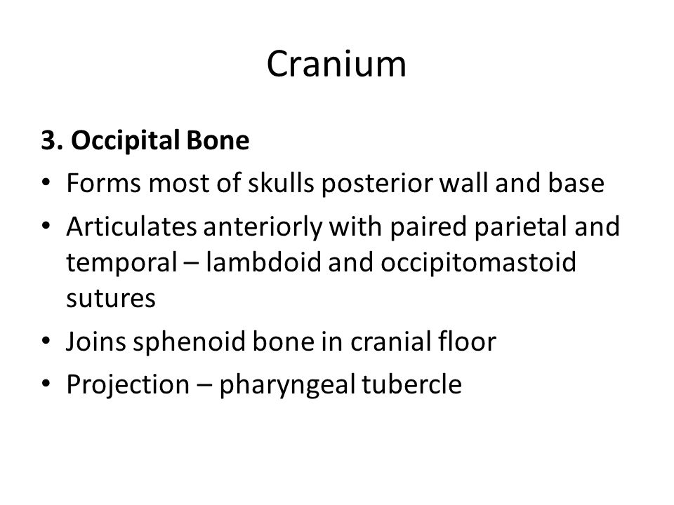 Cranium 3. Occipital Bone Forms most of skulls posterior wall and base