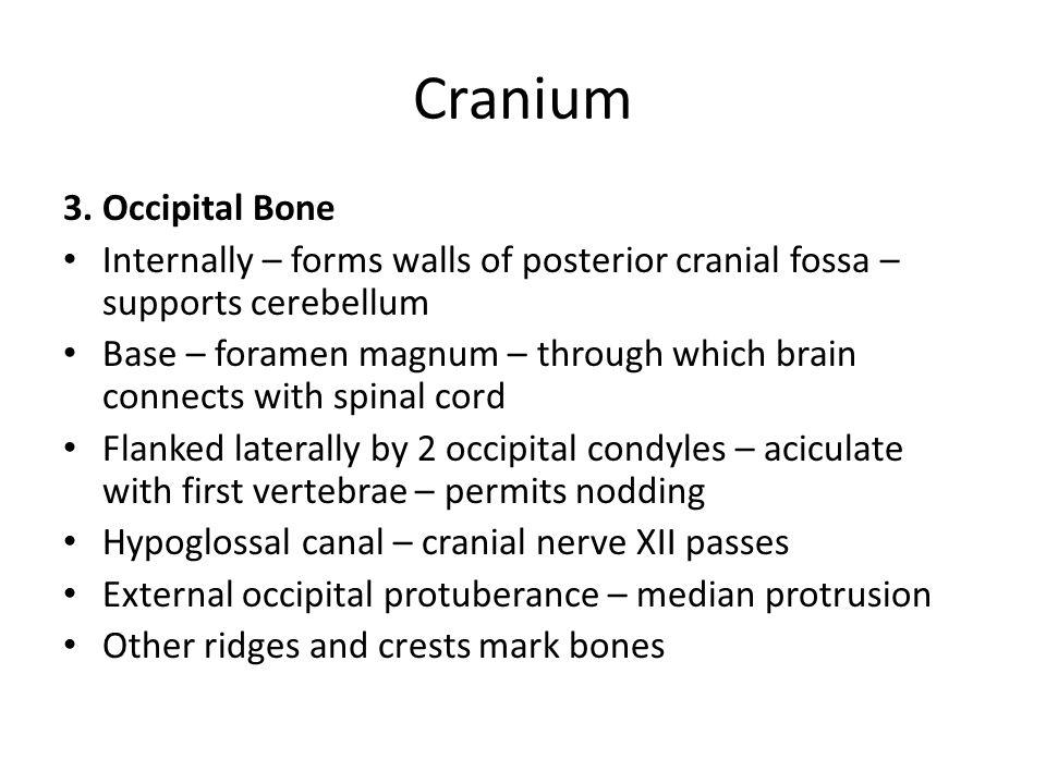Cranium 3. Occipital Bone