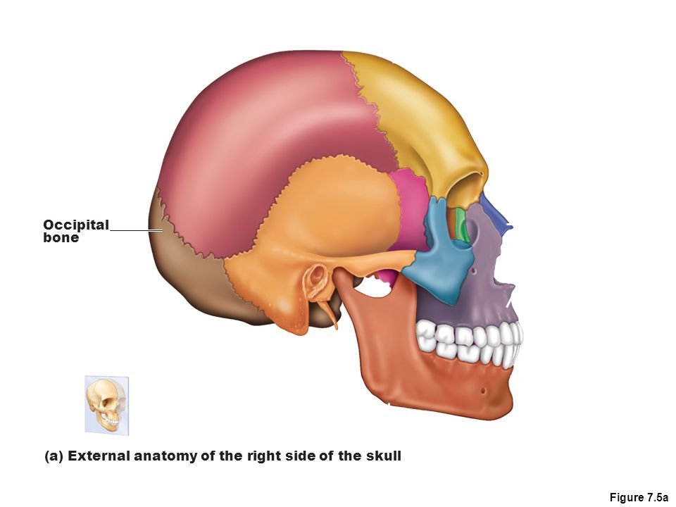 (a) External anatomy of the right side of the skull