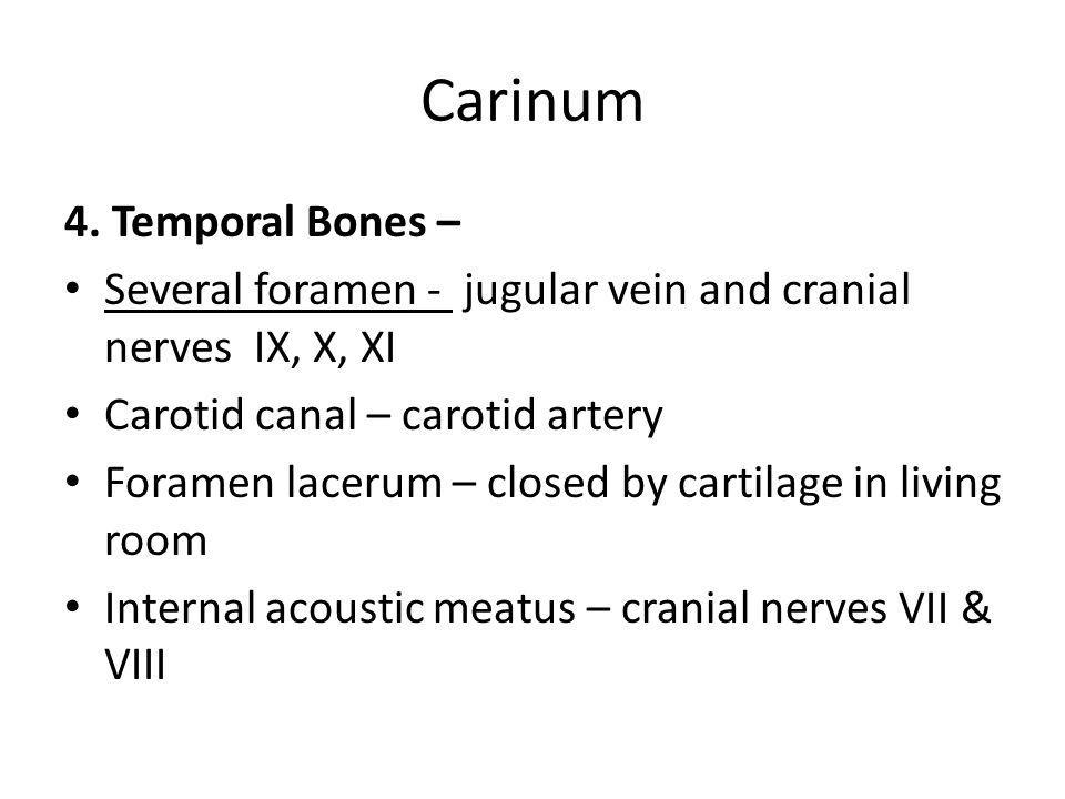 Carinum 4. Temporal Bones –