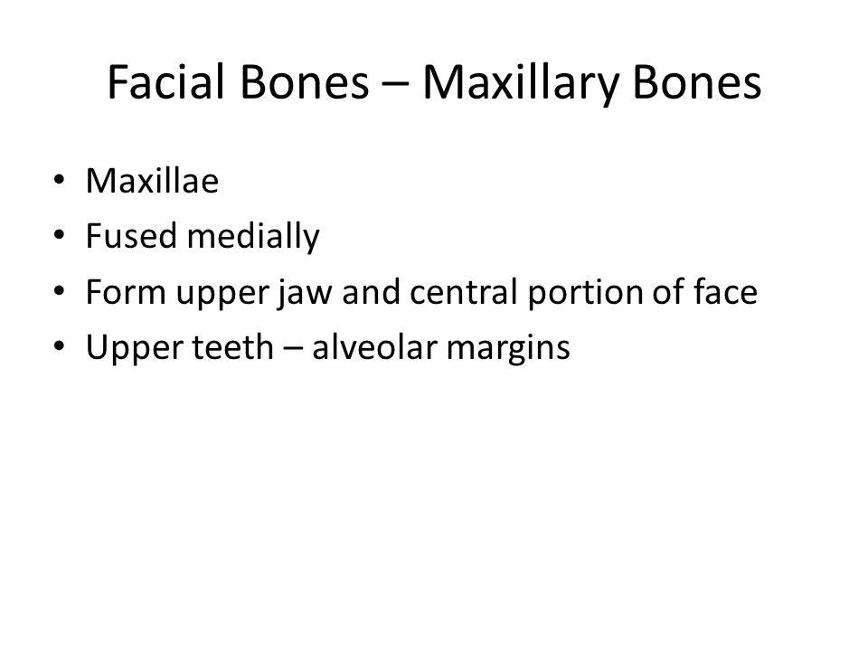 Facial Bones – Maxillary Bones