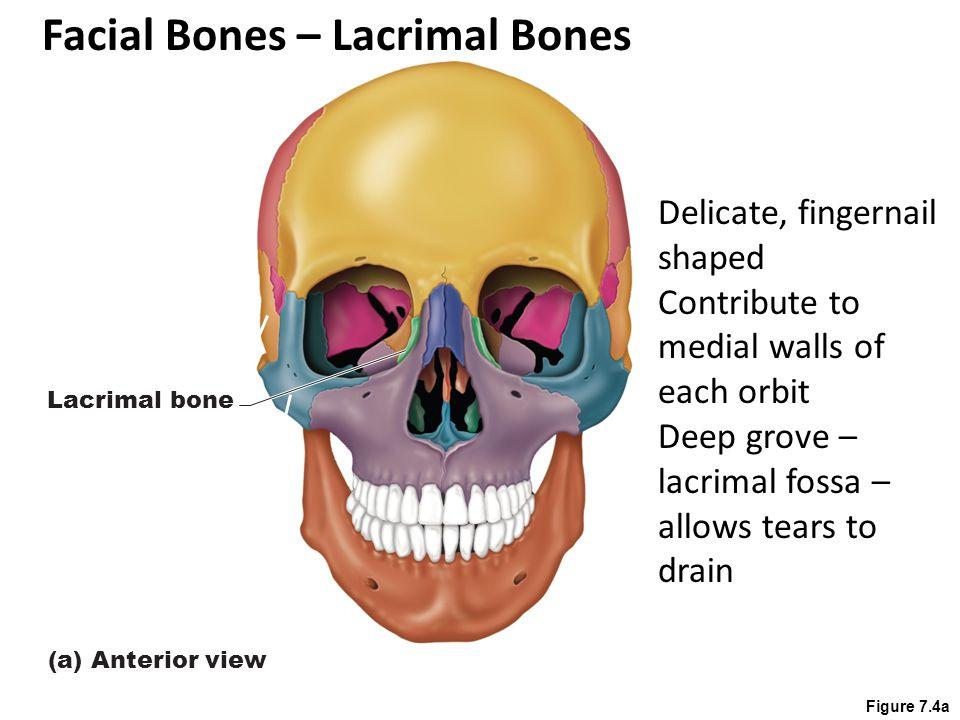 Facial Bones – Lacrimal Bones
