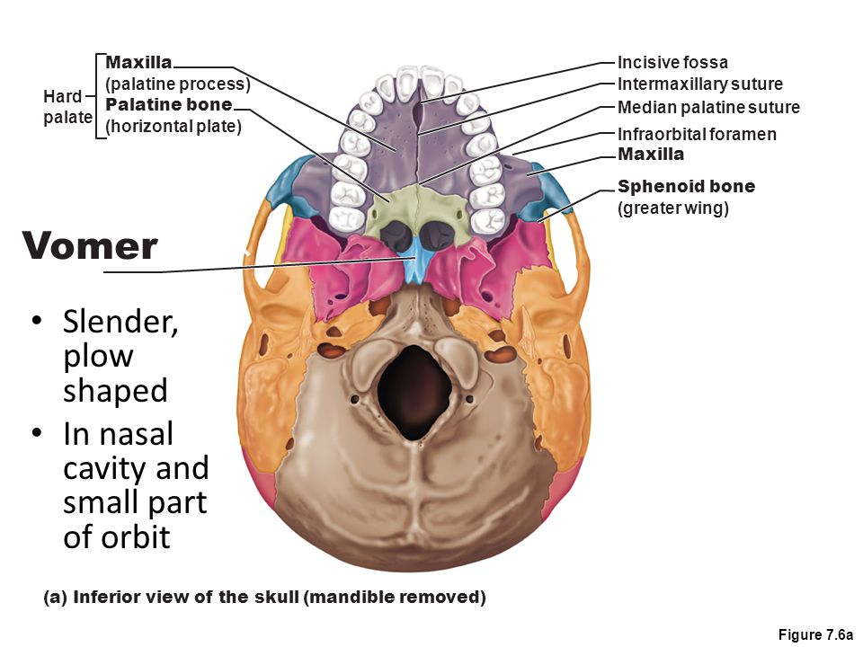 Vomer Slender, plow shaped In nasal cavity and small part of orbit