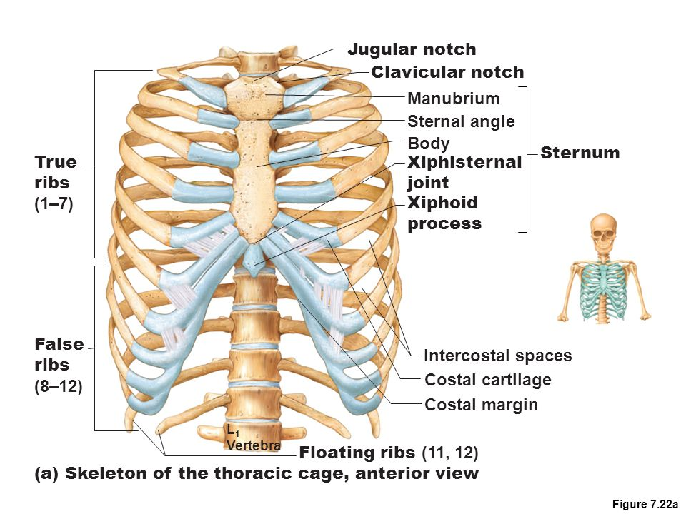 (a) Skeleton of the thoracic cage, anterior view