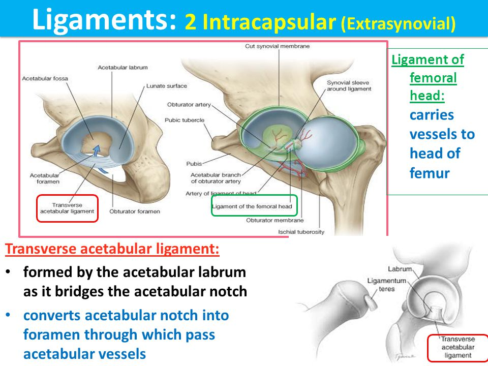 Ligaments: 2 Intracapsular (Extrasynovial)