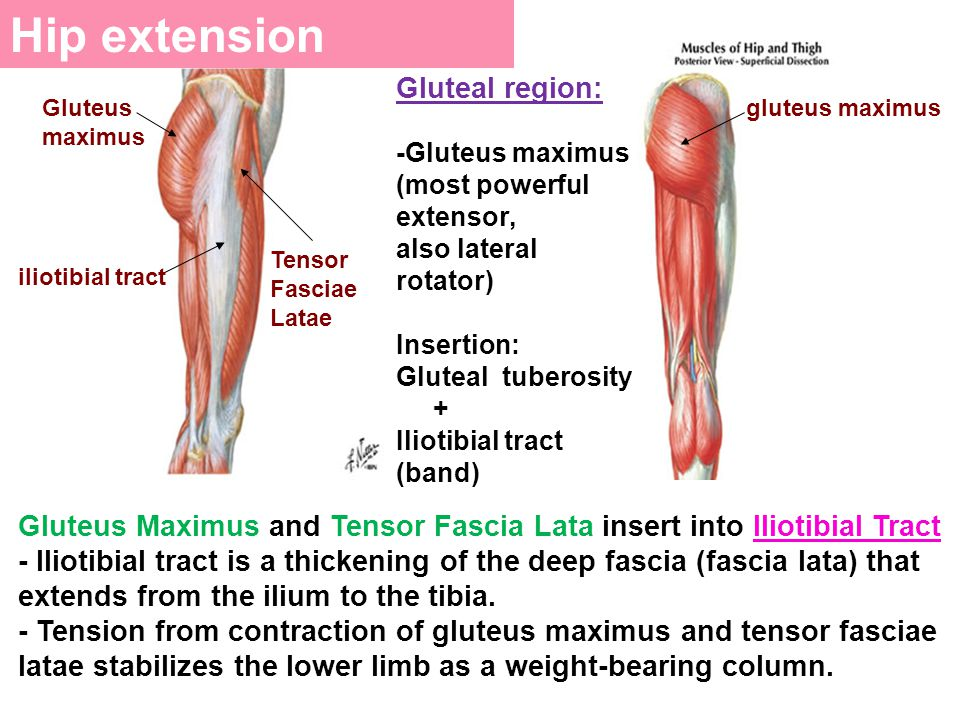 Hip extension Gluteal region: