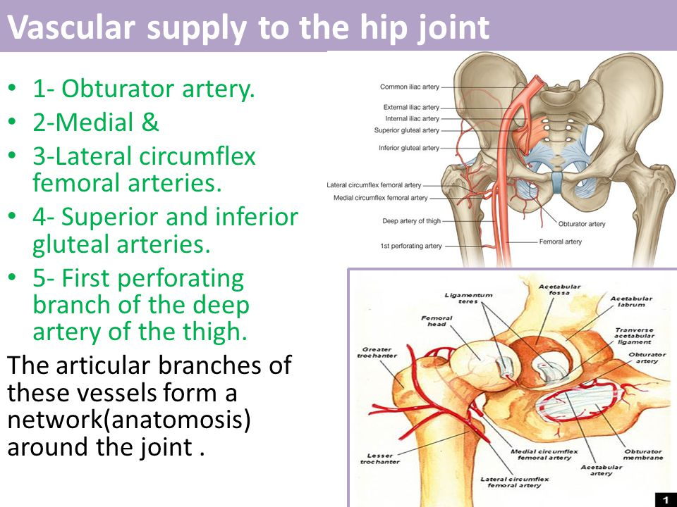 Vascular supply to the hip joint