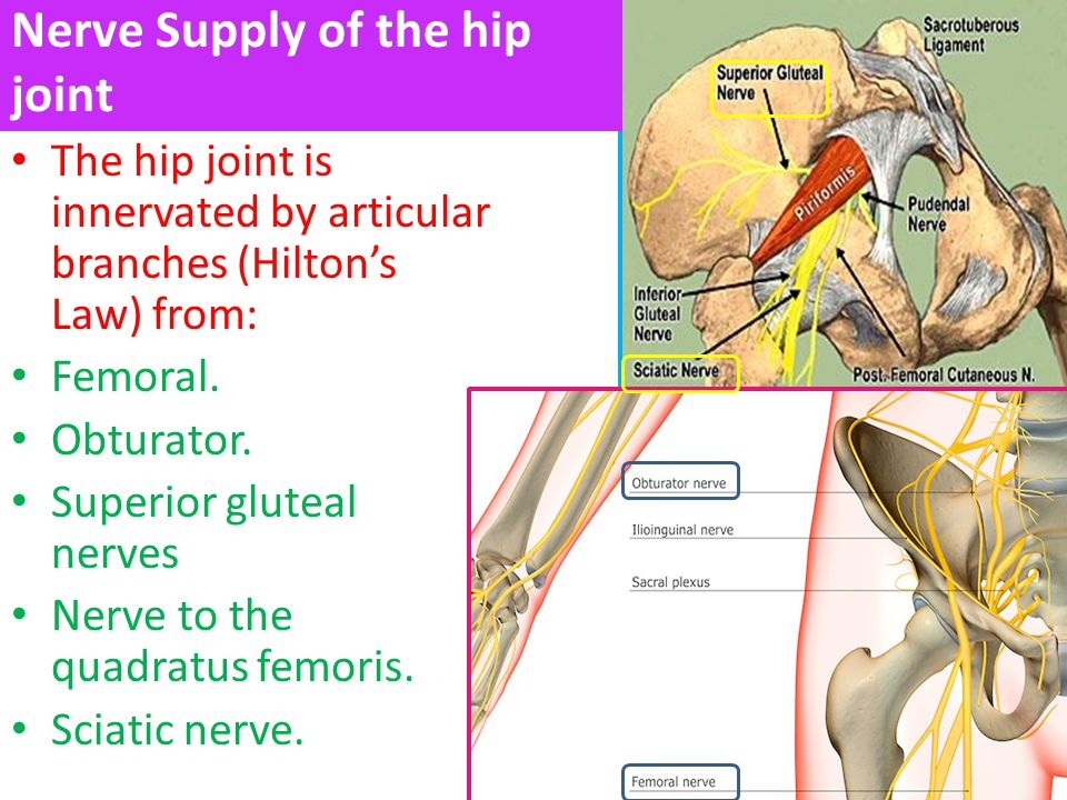 Nerve Supply of the hip joint