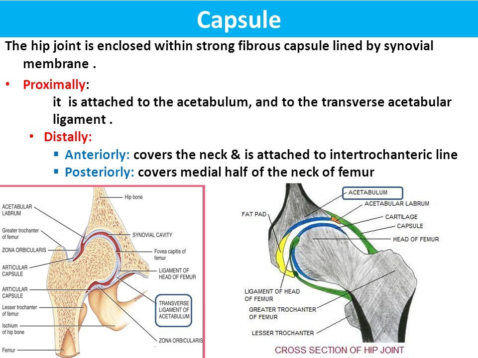 Capsule The hip joint is enclosed within strong fibrous capsule lined by synovial membrane . Proximally: