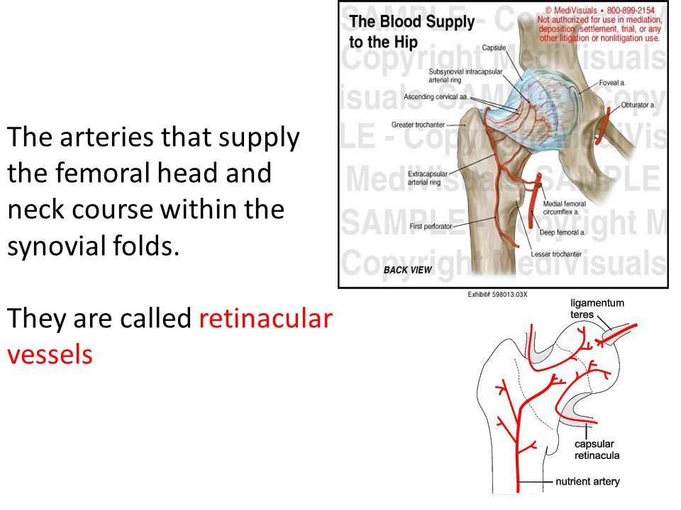 The arteries that supply the femoral head and neck course within the synovial folds.