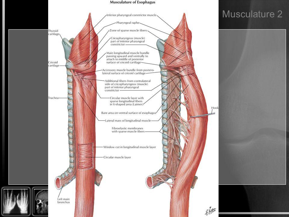 Musculature 2