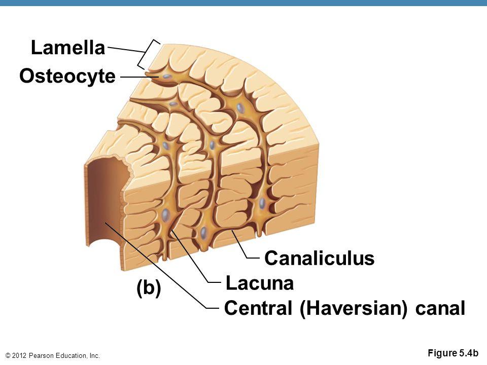 Canaliculus Lacuna (b)