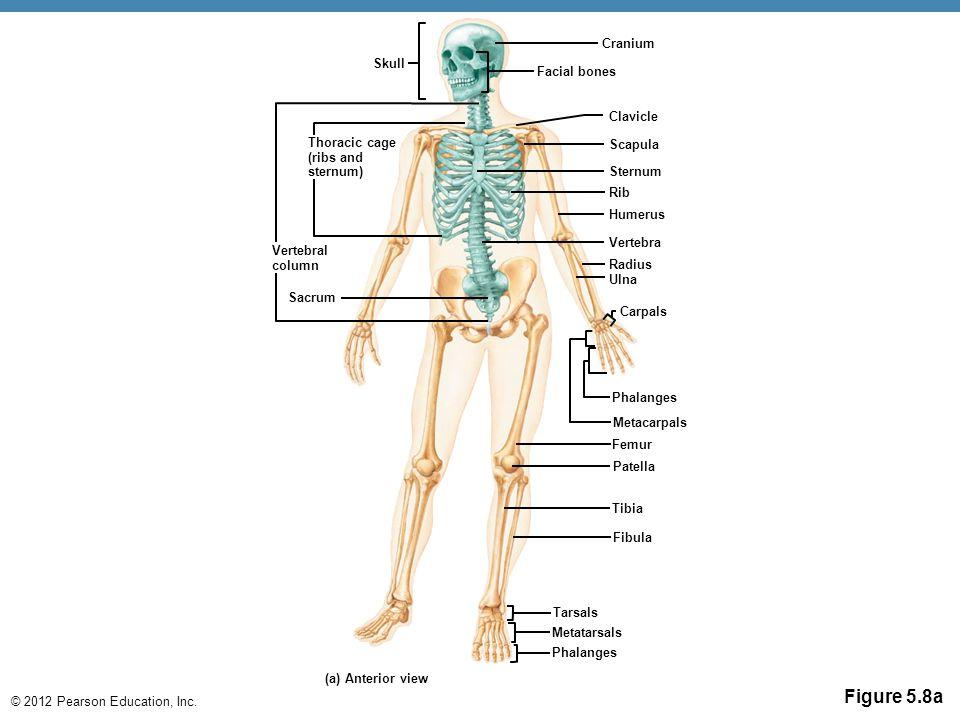 Figure 5.8a Cranium Skull Facial bones Clavicle Thoracic cage Scapula