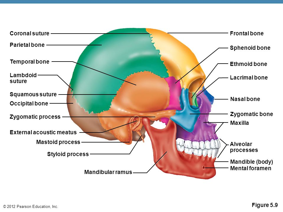 Coronal suture Frontal bone. Parietal bone. Sphenoid bone. Temporal bone. Ethmoid bone. Lambdoid.